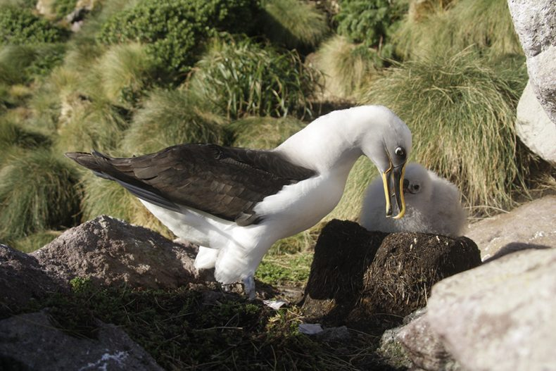 Buller's abatross feeding its chick