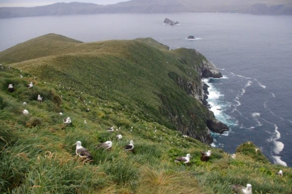 Part of the enormous white-capped mollymawk colony on the south coast of Disappointment Island (main Auckland Island in background). Photograph by Colin Miskelly. Te Papa