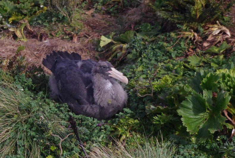 Northern giant petrel chick, Disappointment Island. Photograph by Colin Miskelly. Te Papa