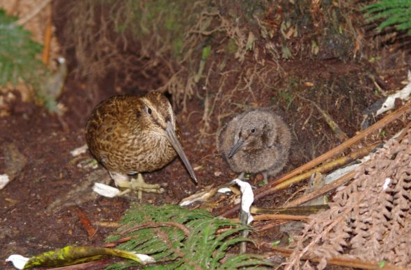 Snares Island snipe and chick. Photo by Colin Miskelly. Te Papa