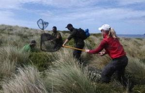 Sea lion researchers assisting with snipe capture on Enderby Island. Photo by Colin Miskelly. Te Papa