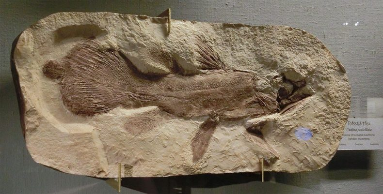 A fossil of Undina penicillata from the Göteborgs Naturhistoriska museum, Sweden. Photograph by Gunnar Creutz. CC BY SA 4.0