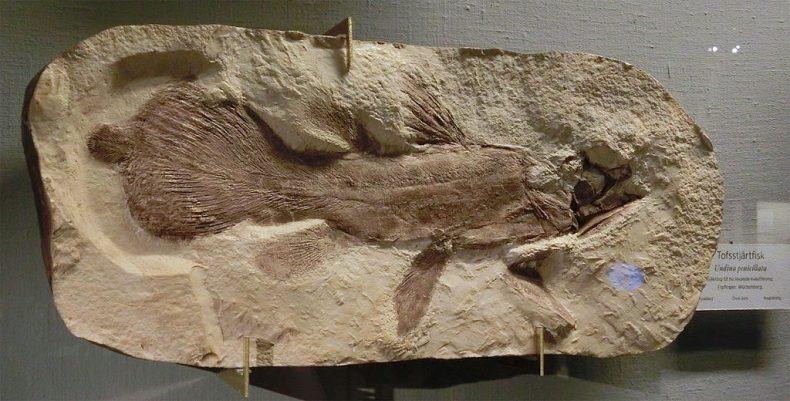 A fossil of Undina penicillata from the Göteborgs Naturhistoriska museum, Sweden. Photograph by Gunnar Creutz. CC BY SA 4.0