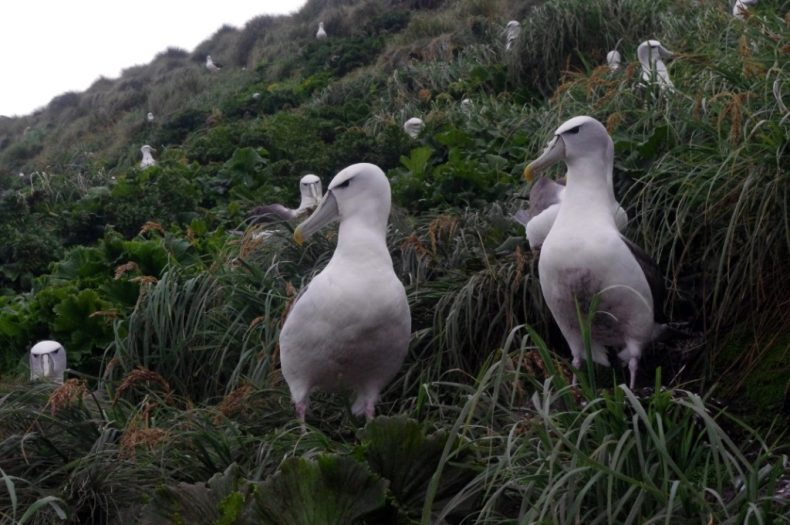 White-capped mollymawks nesting among tussocks and megaherbs (Stilbocarpa polaris and Anisotome latifolia), Disappointment Island. Photograph by Colin Miskelly. Te Papa