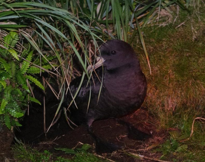 A white-chinned petrel at its burrow entrance on Ewing Island. Photo by Colin Miskelly. Te Papa