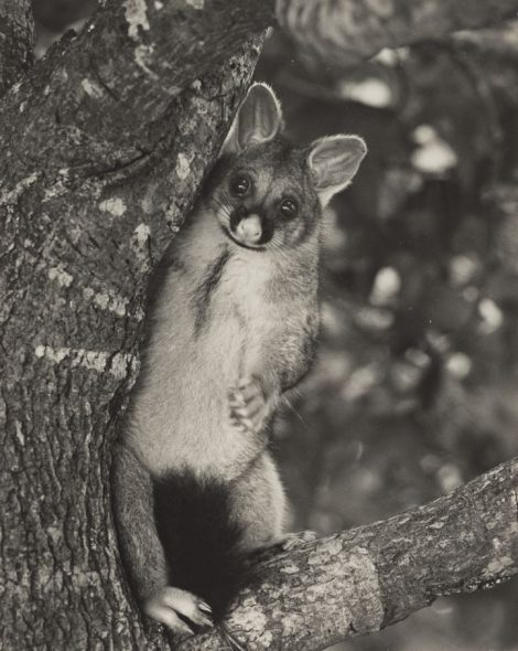 A possum looking out from a tree
