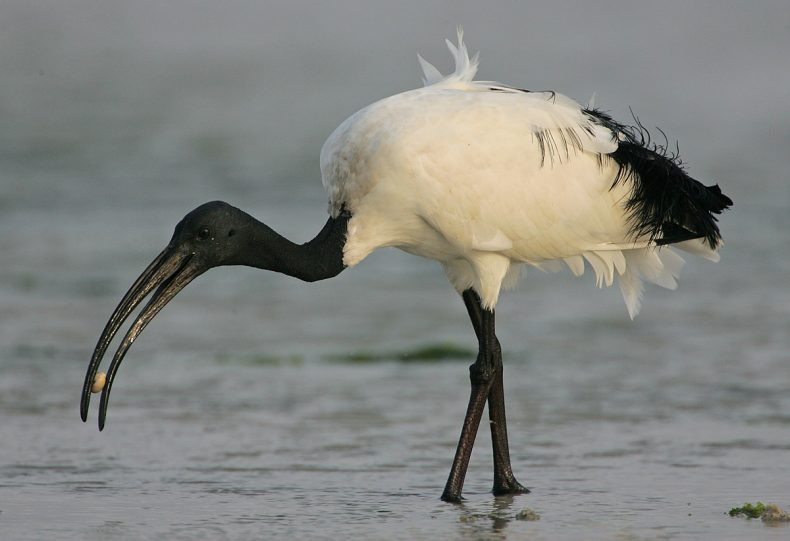 Sacred ibis, Threskiornis aethiopicus. Credit: Steve Garvie (2007), extracted from Wikimedia Commons [licence CC BY-SA 2.0].