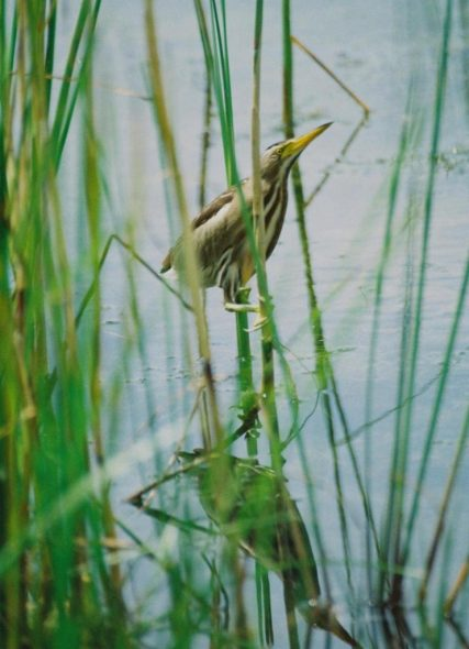 Immature little bittern perched among reeds, Debrecen, Hungary. Photo by Gabor Zeke, NZ Birds Online