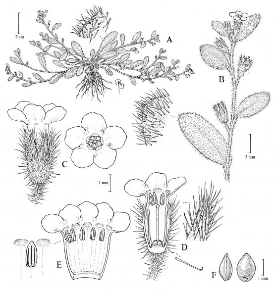 Detailed illustration of new species Myosotis umbrosa by Bobbi Angell (NY Botanical Garden).