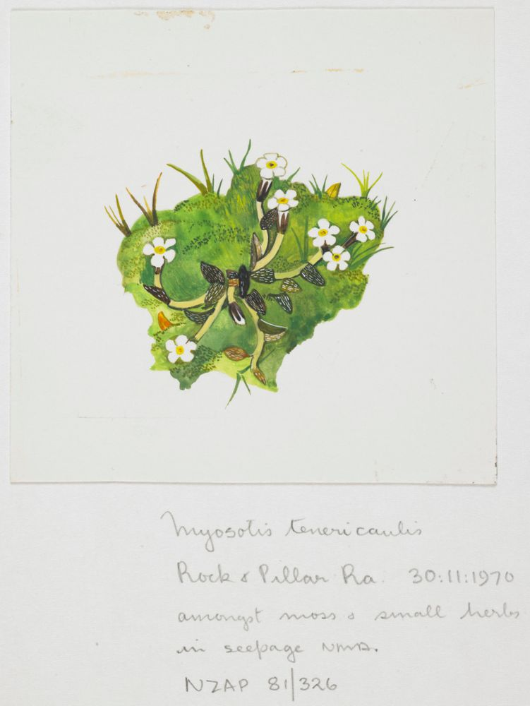 Watercolour of Myosotis bryonoma by Nancy Adams. This species was originally thought to be a small form of M. tenericaulis. https://collections.tepapa.govt.nz/object/824131