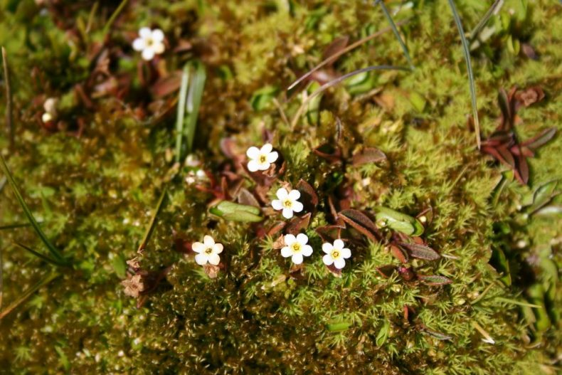 Myosotis bryonoma growing in a mossy bog in the Garvie Mountains, South Island. WELT SP104478. Photo by Heidi Meudt @ Te Papa. https://collections.tepapa.govt.nz/object/1524570