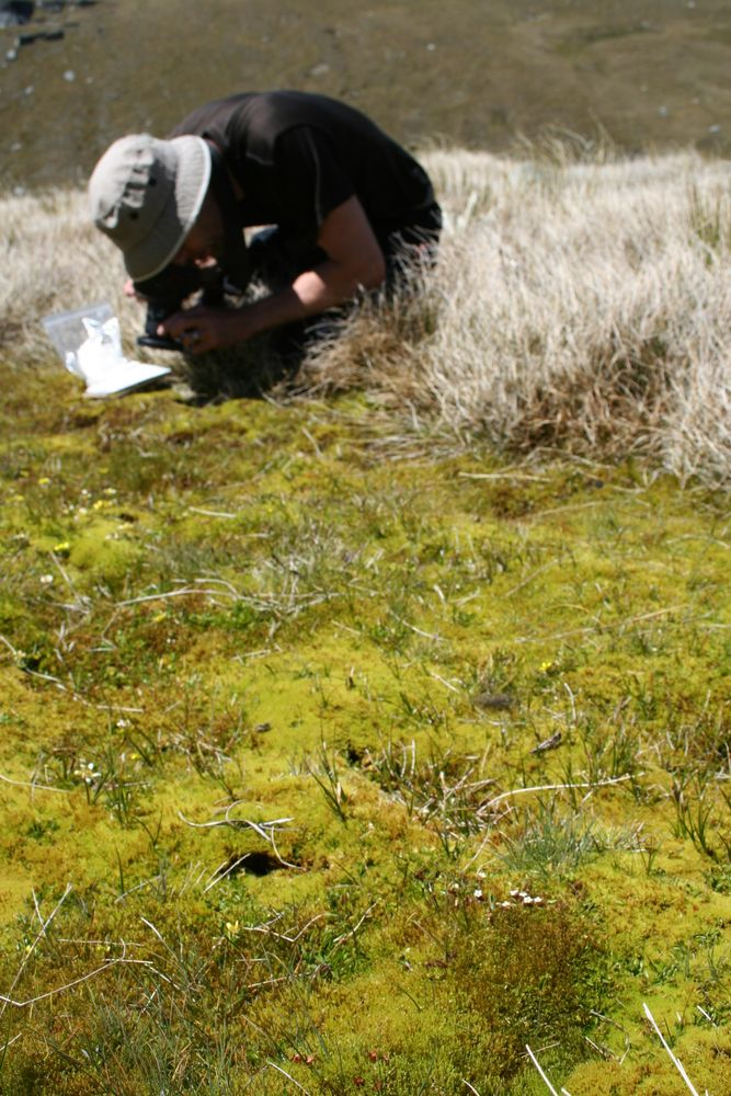 Antony Kusabs collecting Myosotis bryonoma from its high elevation bog habitat in the Garvie Mountains, South Island. Photo by Heidi Meudt @ Te Papa. WELT SP104478. https://collections.tepapa.govt.nz/object/1524570