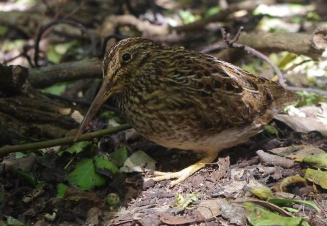 An adult male Chatham Island snipe, Rangatira Island, March 2018. Photo: Colin Miskelly