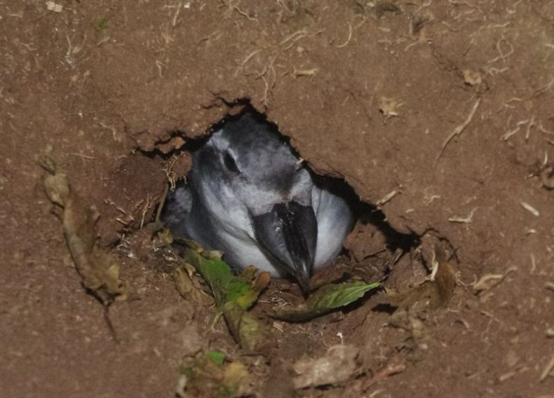 A bird with a wide beak pokes it head out of a dirt burrow that has some leaves at the entrance