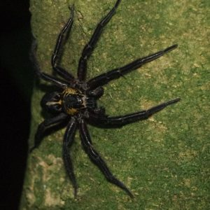 Slightly smaller and more brightly coloured than the female, a male Rangatira spider hunts on a mahoe trunk at night, Rangatira Island, March 2018. Photo: Colin Miskelly