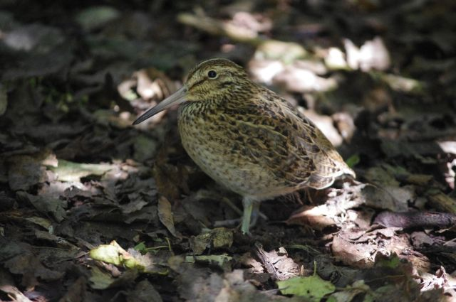 A juvenile Chatham Island snipe, Rangatira Island, March 2018. The plumage has more grey tones than that of adults, and the bill base is smooth and purplish-grey (c.f. brown and grooved in adults). Photo: Colin Miskelly