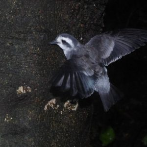 A white-faced storm petrel fledgling climbing a tree in preparation for its first flights, Rangatira Island, March 2018. Photo: Colin Miskelly