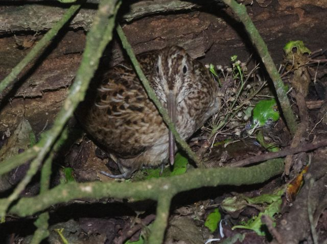 An adult male Chatham Island snipe broods its recently hatched chick, Rangatira Island, March 2018. Photo: Colin Miskelly