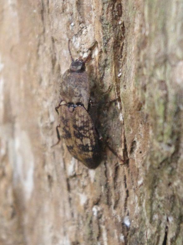 jumping beetle nz
