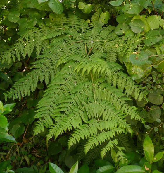 Close up of giant pig fern