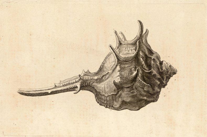 Wenceslaus Hollar, Murex brabdaris, 1600s. Fisher Hollar Collection, University of Toronto Libraries (P2206)