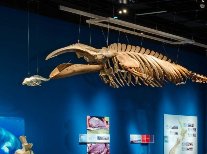 Installation view of specimens of Hector's dolphin and pygmy right whale hanging on display