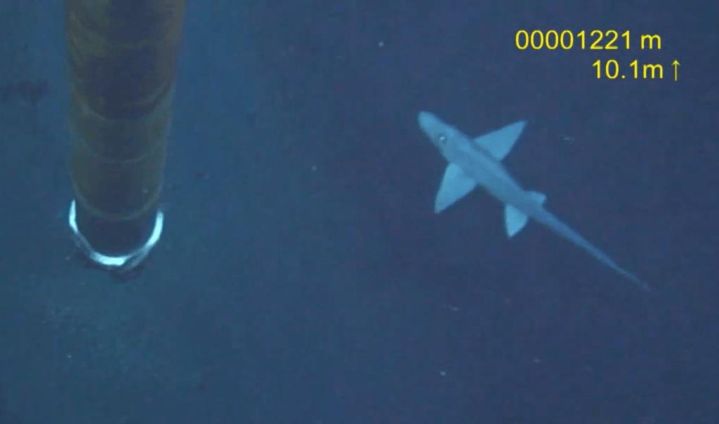 Ghost shark caught on camera
