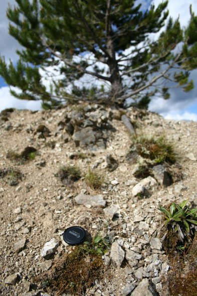 Which plant will survive? The tiny native Myosotis australis (near the lens cap) or the looming invasive giant (Pinus contorta)? Photo at Cooks Horn, Kaweka Ranges by Heidi Meudt @ Te Papa. WELT SP106550.