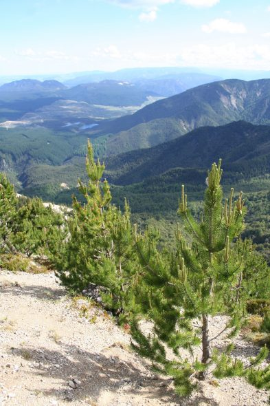 Pinus contorta along the top ridge of the Kaweka Range. Photo by Heidi Meudt @ Te Papa.