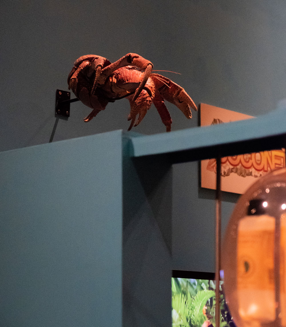 Coconut crab on display
