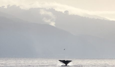 A whale tail is seen out of water with hills in the background