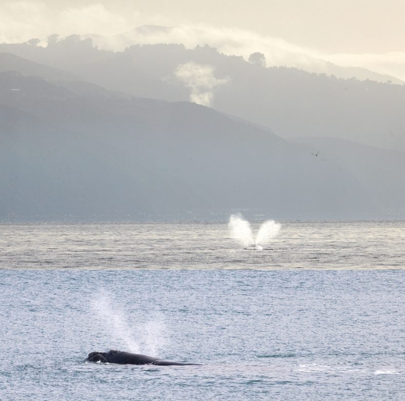 Composite photo showing two moments where the whale has emitted a double blow