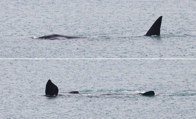 Two photos of the whale playing in the water