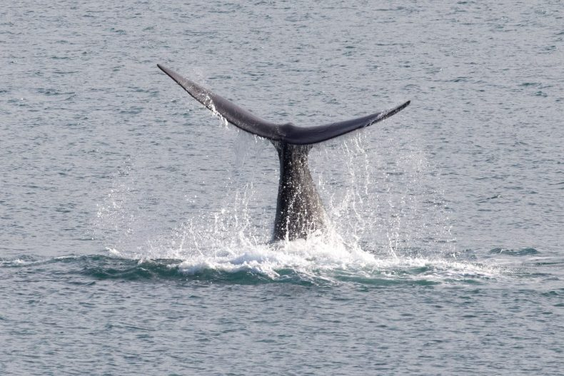 Close-up of the whale breaching the water