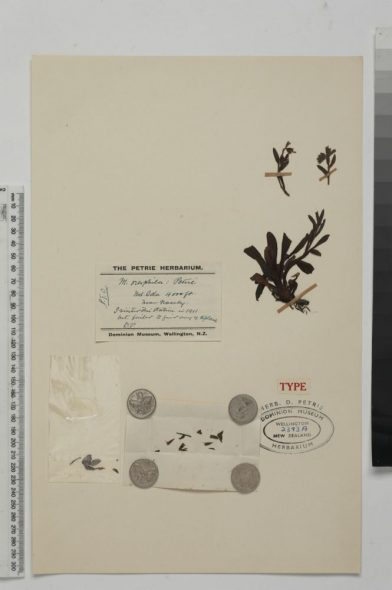 "The type specimen of Myosotis oreophila, collected by Donald Petrie at ""Mt Ida, near Naseby"". SP002393/A"