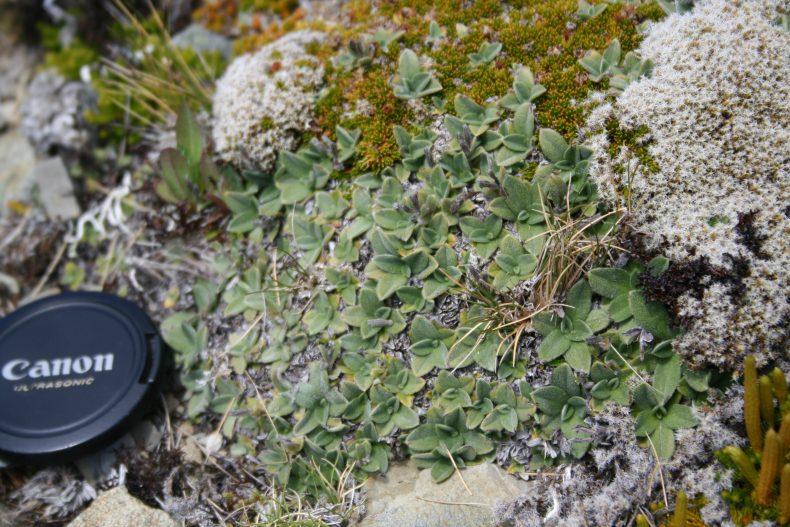 An unknown species of Myosotis that has some similarities to Myosotis cheesemanii, Awakino ski field, South Canterubury. Photo by Heidi Meudt @ Te Papa. SP106668