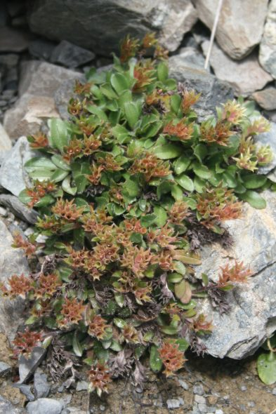 A large plant of Myosotis lyallii subsp. elderi, just past flowering, on Hummock Peak. Photo by Heidi Meudt @ Te Papa. SP106619