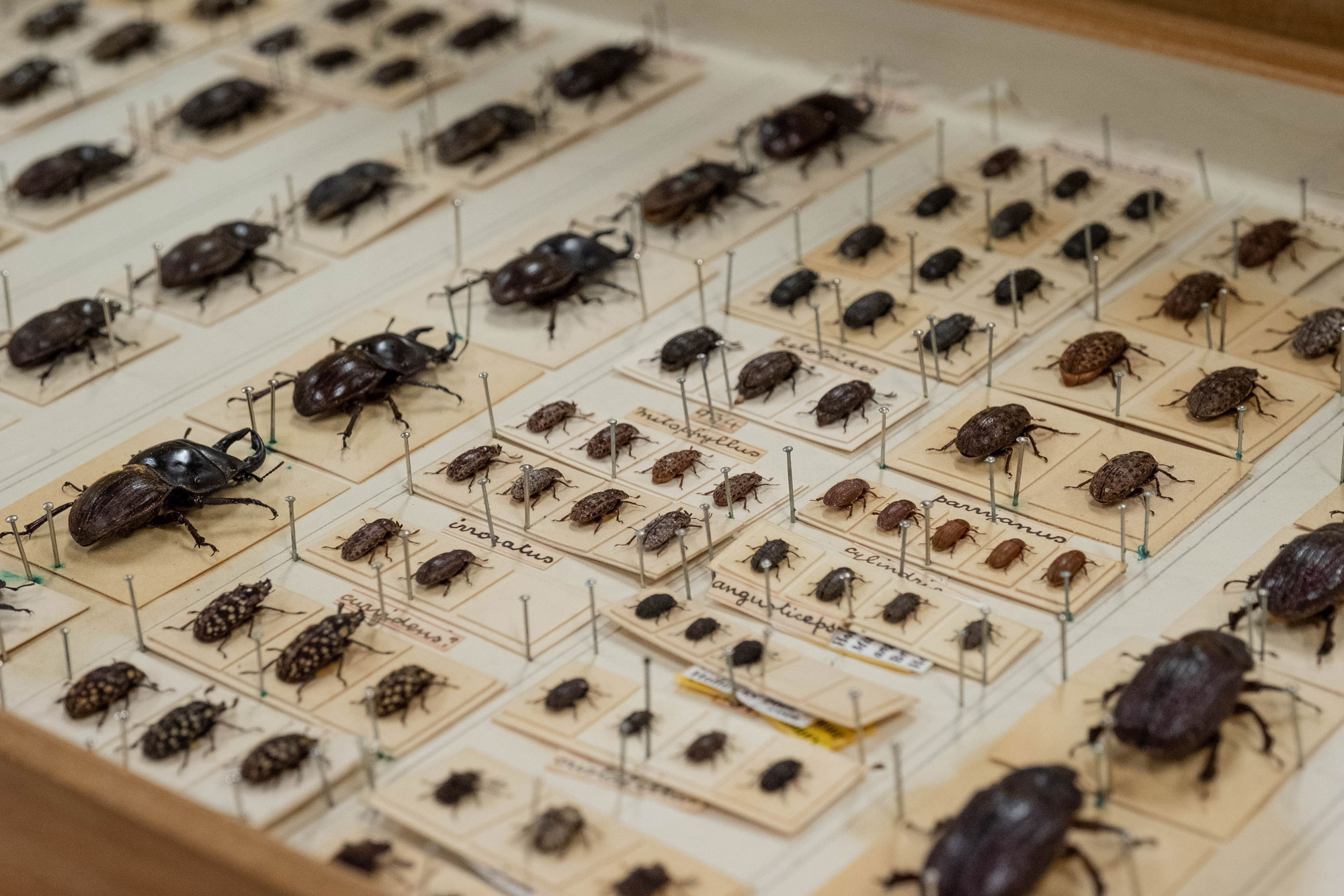 A selection of mounted beetles