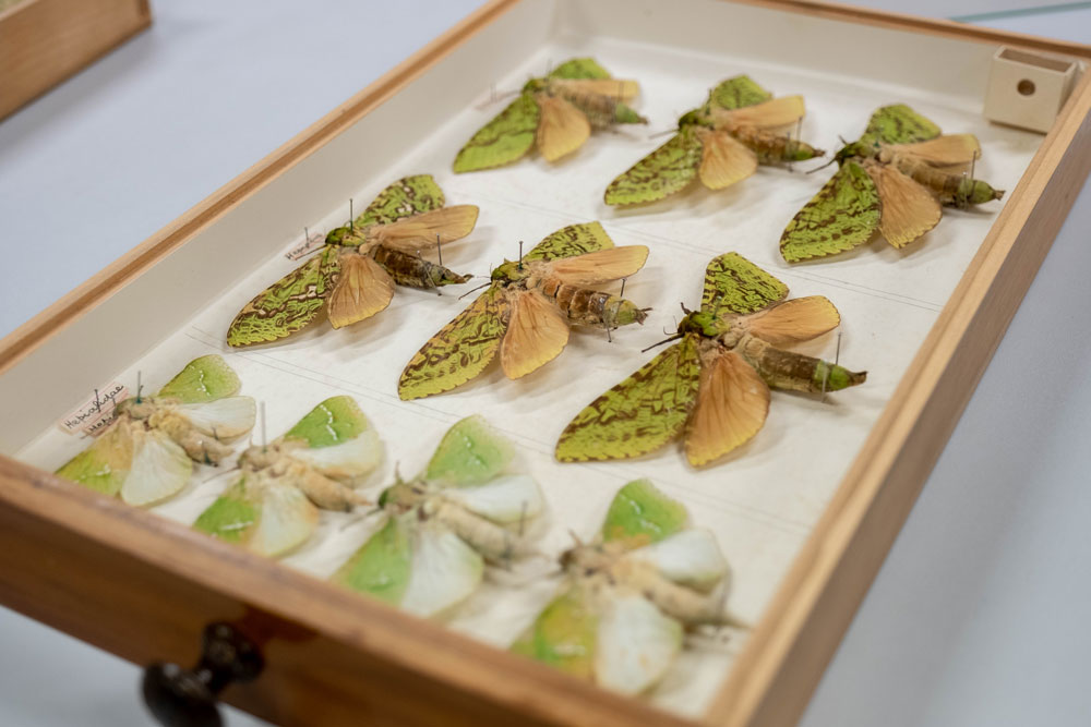 Puriri moths