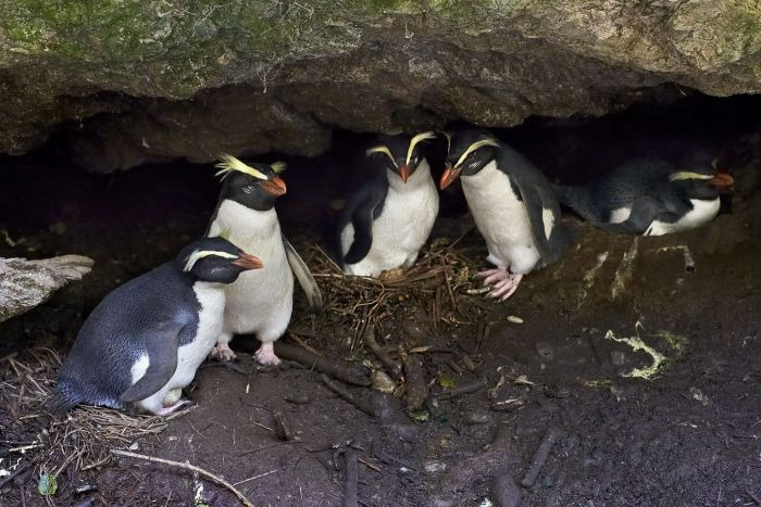 Four penguins nesting
