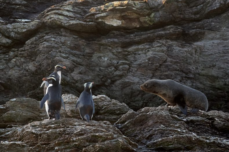 A seal looks at three penguins on rocky land