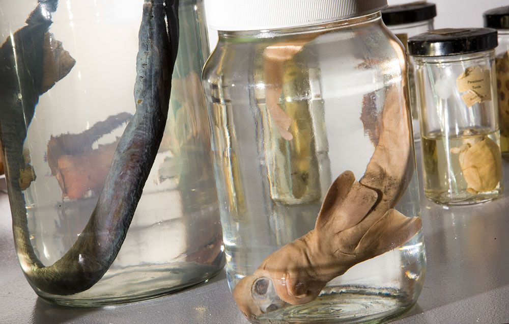 Fish in spirit jars