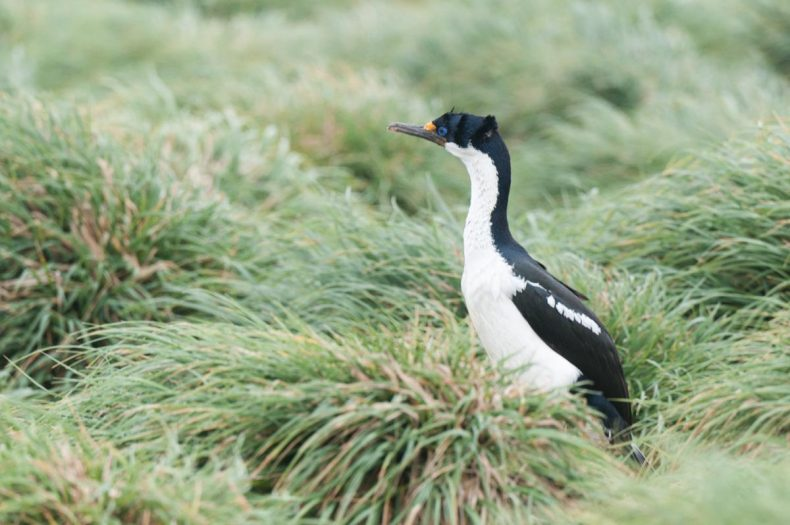Macquarie Island shag in the grass