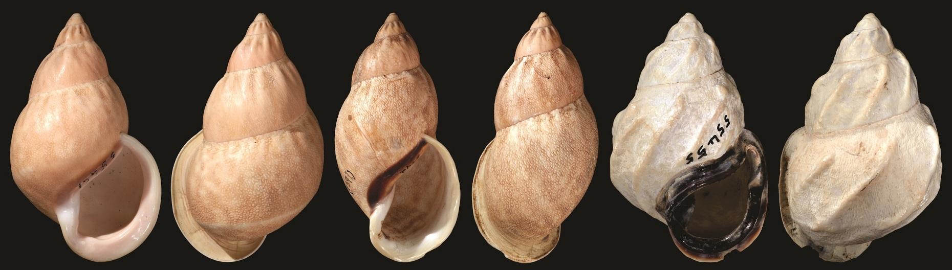 Auris spp.