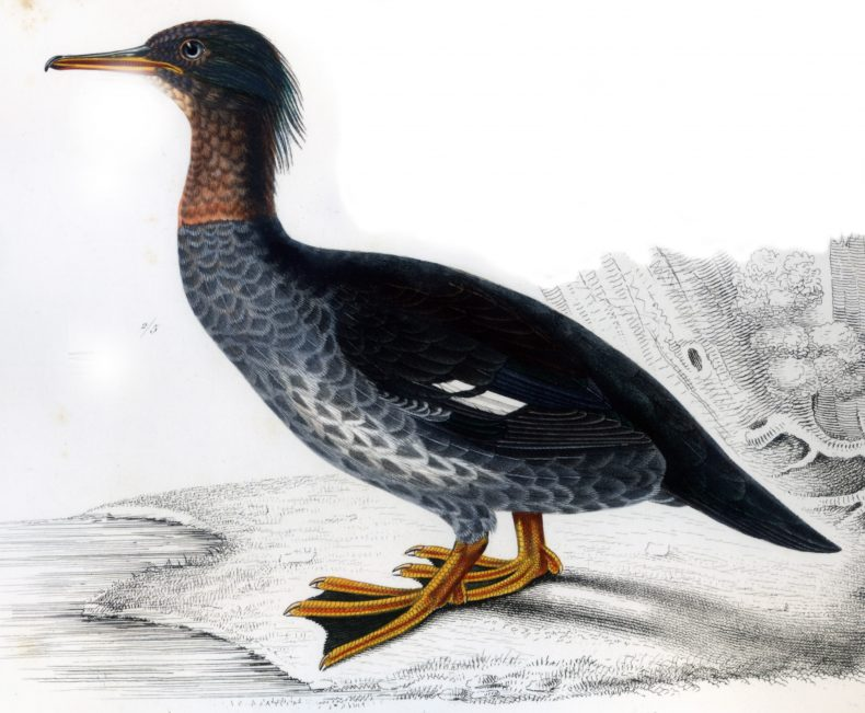 Watercolour illustration of a shag called the Auckland Island merganser