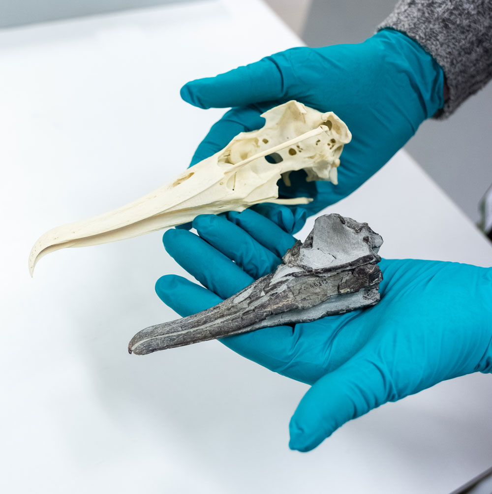 The fossil little albatross skull next to a modern large .... albatross