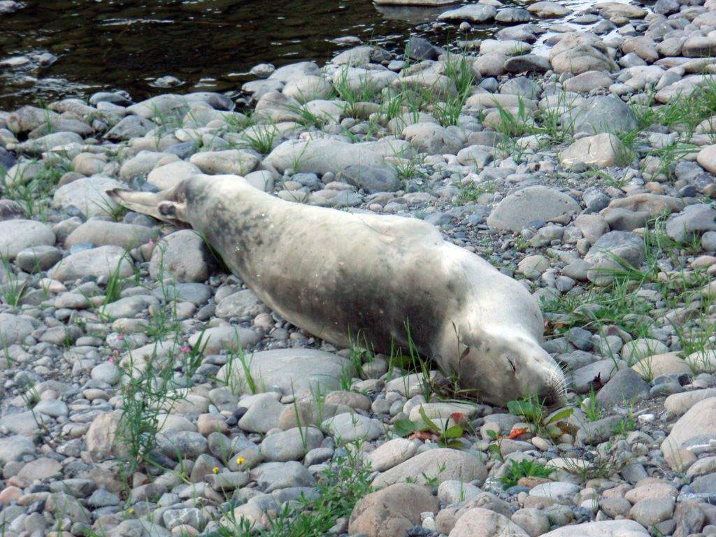 Seal resting on land