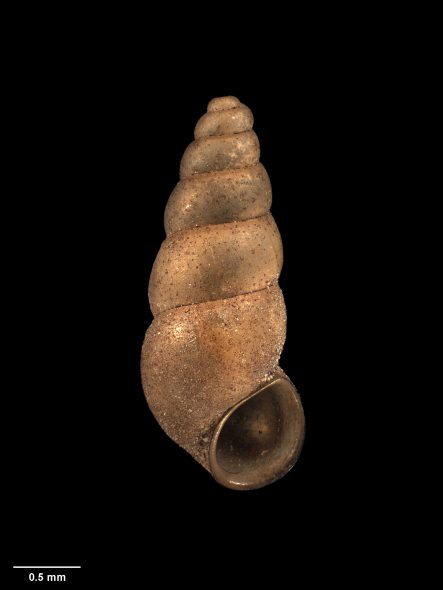 Freshwater snail, Potamopyrgus oppidanus Haase, 2008, collected 26 November 2003, stream near foot of Wadestown Road, Wellington, New Zealand. CC BY-NC-ND 4.0. Te Papa (M.174061)