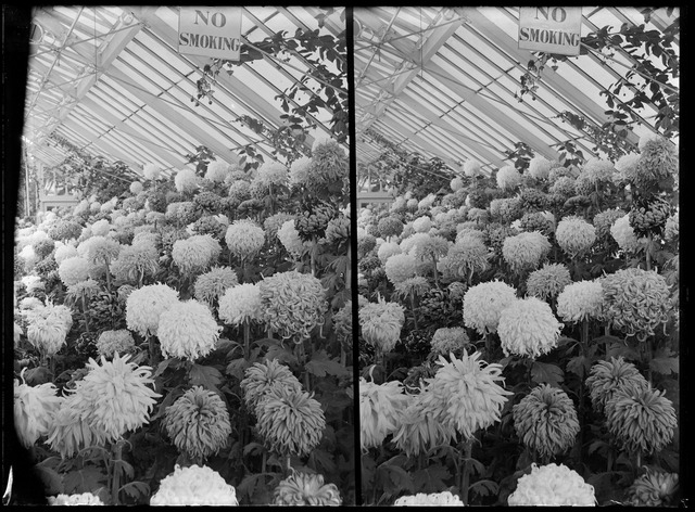A glasshouse full of chrysanthemums, with a No Smoking sign hanging from the roof