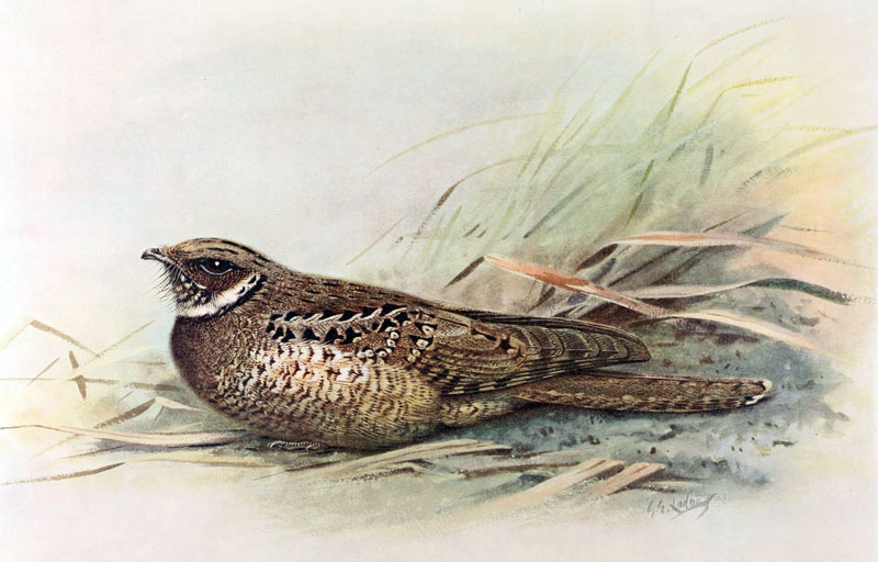 Watercolour painting of a brown speckled bird in the grass